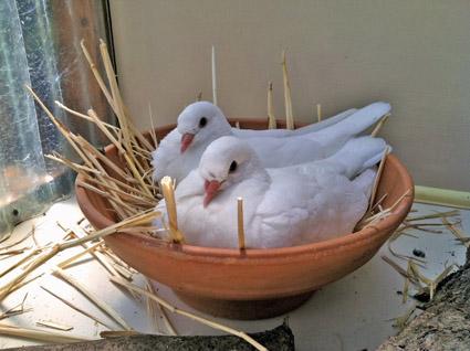 حکم نگهداری کبوتر در منزل از زبان پیامبر و امامان