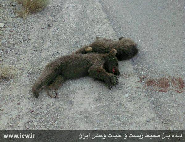 : دو توله خرس قهوه اي با شليک شکارچيان کشته شدند