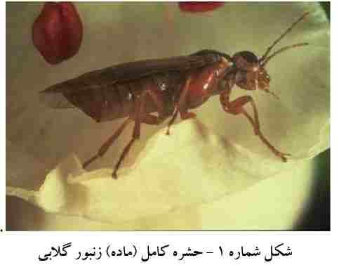 حشره کامل زنبور گلابی