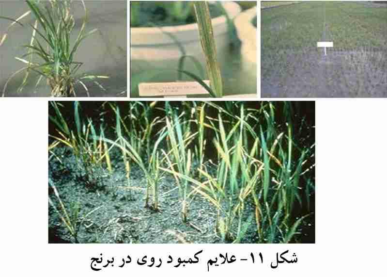 علایم کمبود روی در برنج