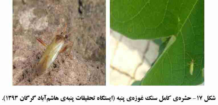 سنک غوزه پنبه Creontiades pallidus